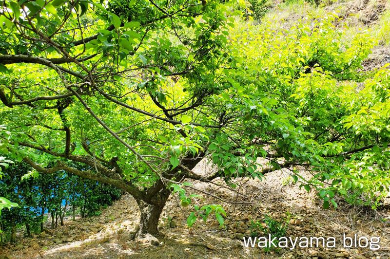 梅の木 不作