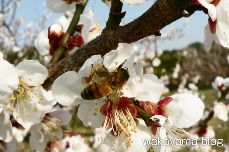 梅の花 ミツバチ